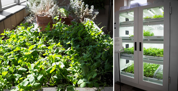 School of Hotel, Culinary Arts and Tourism greenhouse pictures. Left: Table of fresh herbs sitting in the sun. Right: Climate control grow cabinet filled with plants.